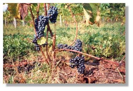 La taille des grappes de raisin varie selon les cépages... et les années.