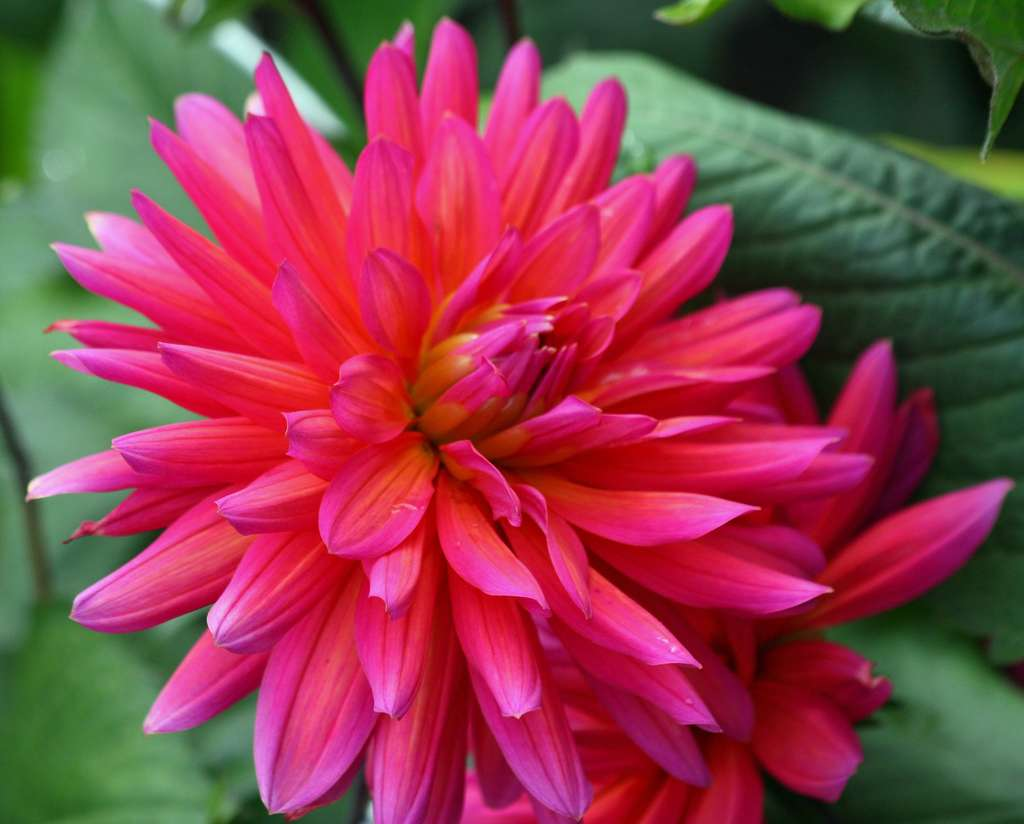 Dahlia Changing Color. © Alaskan Dude, CC by-nc 2.0