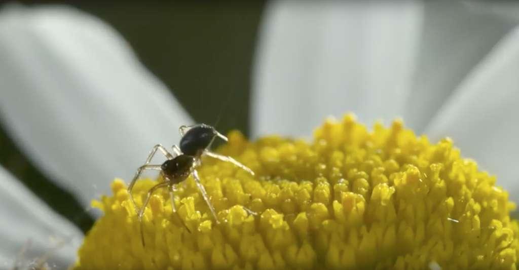 Sur cette image, on devine le fil de soie sur le point d'emporter l'araignée dans les airs. © University of Bristol, YouTube