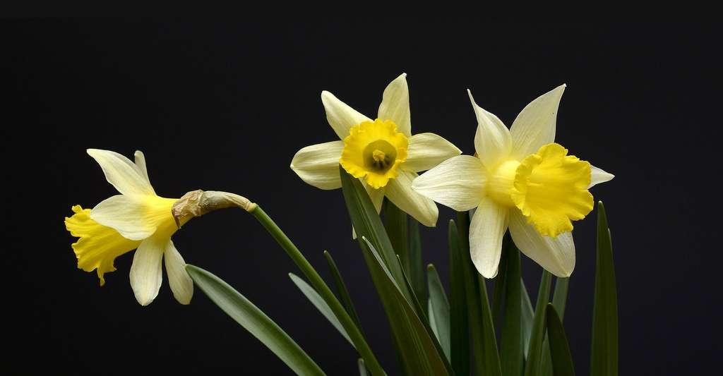 Pleine floraison de jonquilles. © Annca, Pixabay, DP