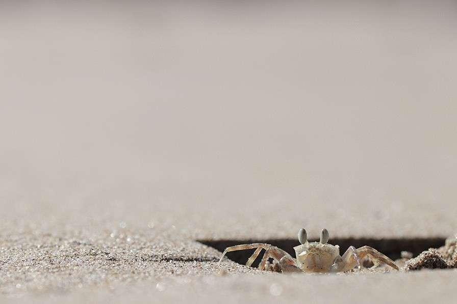 Le crabe fantôme passe la plupart de sa journée dans son terrier. © HaoYun Zhuang, Université de Fuzhou (Chine)