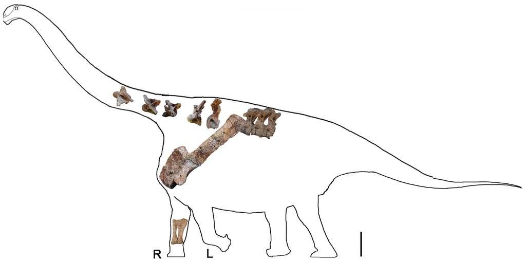Les restes fossilisés du Yongjinglong datangi ont été replacés dans la forme classique du corps d'un titanosaure. La barre d'échelle représente 600 mm. © Li-Guo Li et al., 2014, Plos One