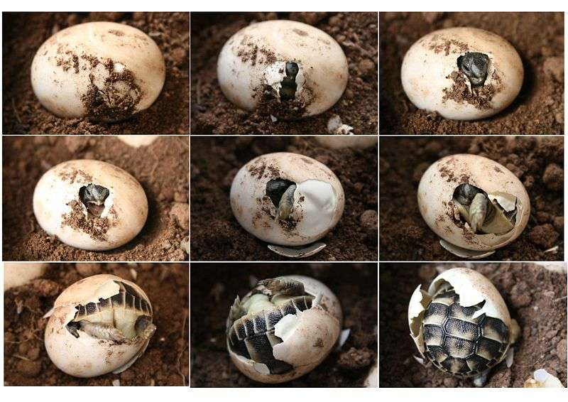 Éclosion d'une tortue d'Hermann en neuf étapes. © Henri Pidou, Wikipédia, GNU 1.2