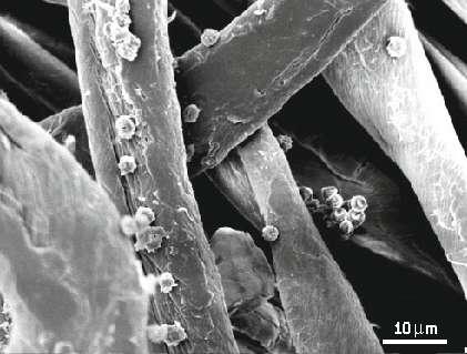 Fig. 1. Fibre de coton colonisée par une moisissure (champignon). Les fibres de coton, comme d'autres fibres cellulosiques, sont sujettes aux attaques par des microorganismes capables de digérer la cellulose et d'engendrer une décoloration du tissu, ou d'en modifier la teinte.