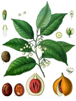 Fleurs et fruits du muscadier. © Franz Eugen Köhler, in Köhler's Medizinal-Pflanzen