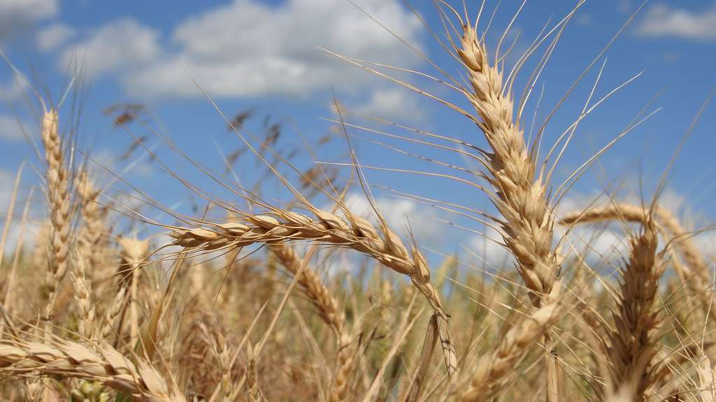 Le blé tendre, première des céréales