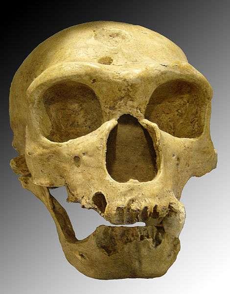Voici le crâne d'Homo neanderthalensis extrait de la grotte Bouffia Bonneval en 1908. Il appartenait à un vieillard dont plusieurs éléments ostéologiques suggèrent qu'il avait du mal à se déplacer sans aide. © Luna04, Wikimedia Commons, cc by 3.0