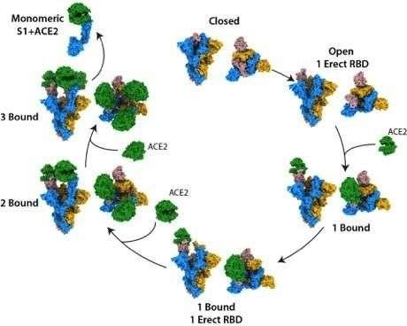 Les changements de structure de la protéine S (la structure bleue, jaune et rose) lorsque ACE2 (en vert) se fixe. © Donald J. Benton, et al., Nature