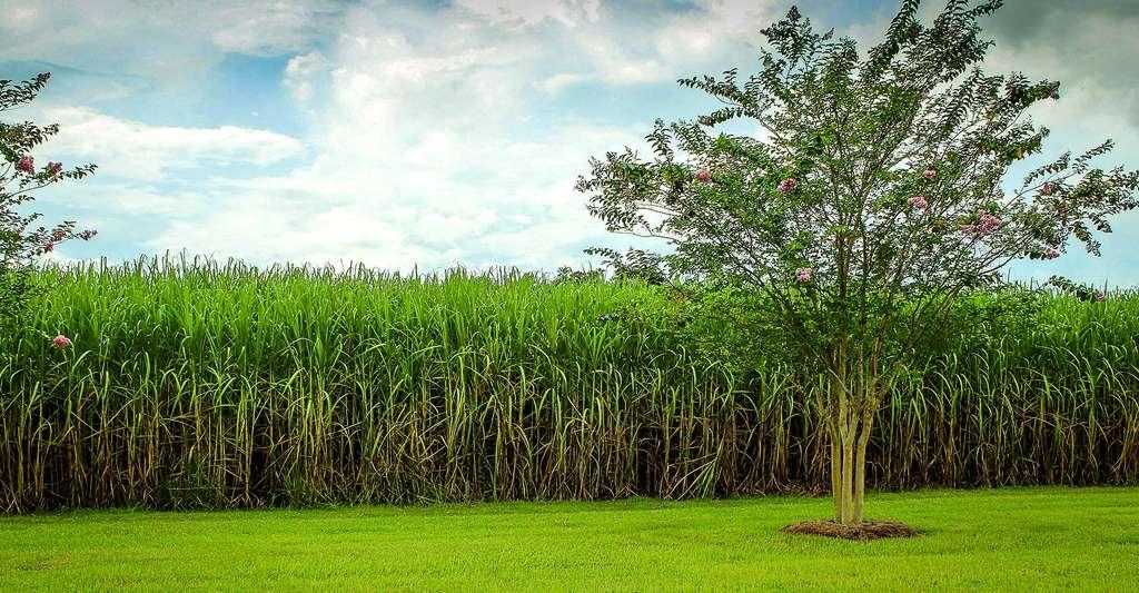 La biomasse permet de fabriquer des produits biosourcés, comme c'est le cas pour la canne à sucre. © James DeMers CCO