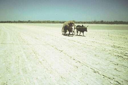 Dans la lagune de Belo (Madagascar), les charrettes à zébus, principal moyen de déplacement, empruntent le tanne vif à efflorescences salines © JM Lebigre Reproduction et utilisation interdites