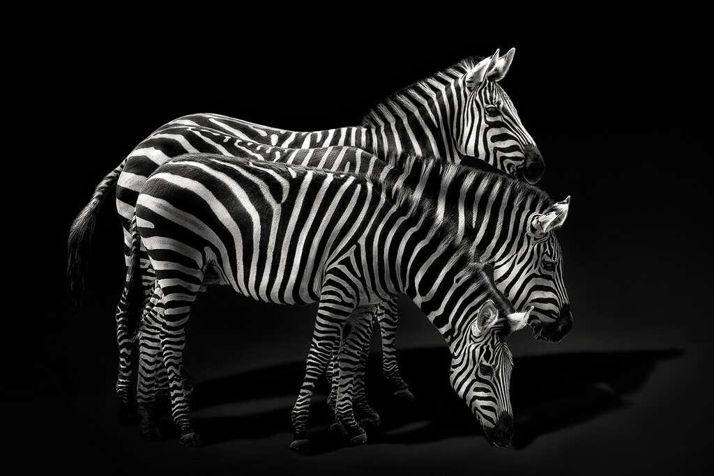 Le zèbre, un cheval sauvage