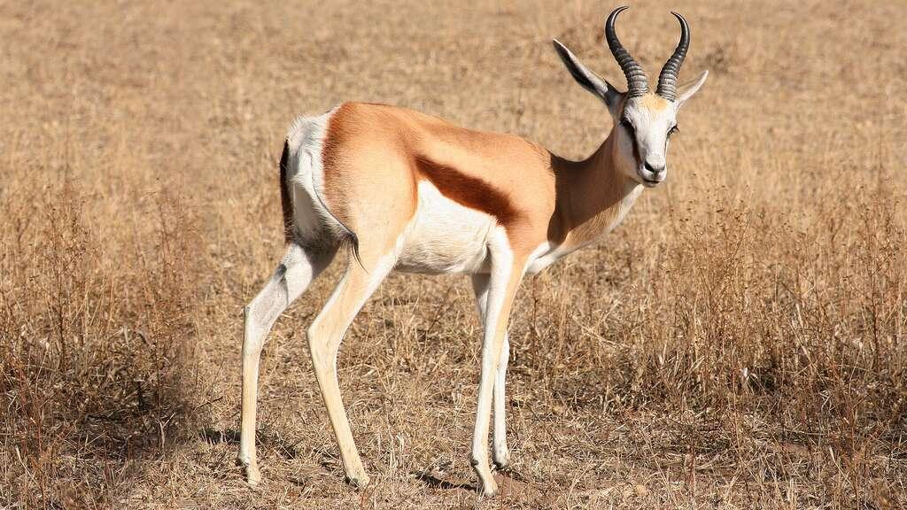 Le springbok, un animal devenu symbole en Afrique du Sud
