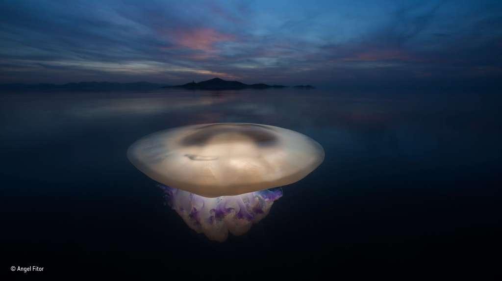 Magnifique photo d'une méduse flottant dans les eaux calmes de la Mer Mineure. © Angel Fitor, 2016 Wildlife Photographer of the Year