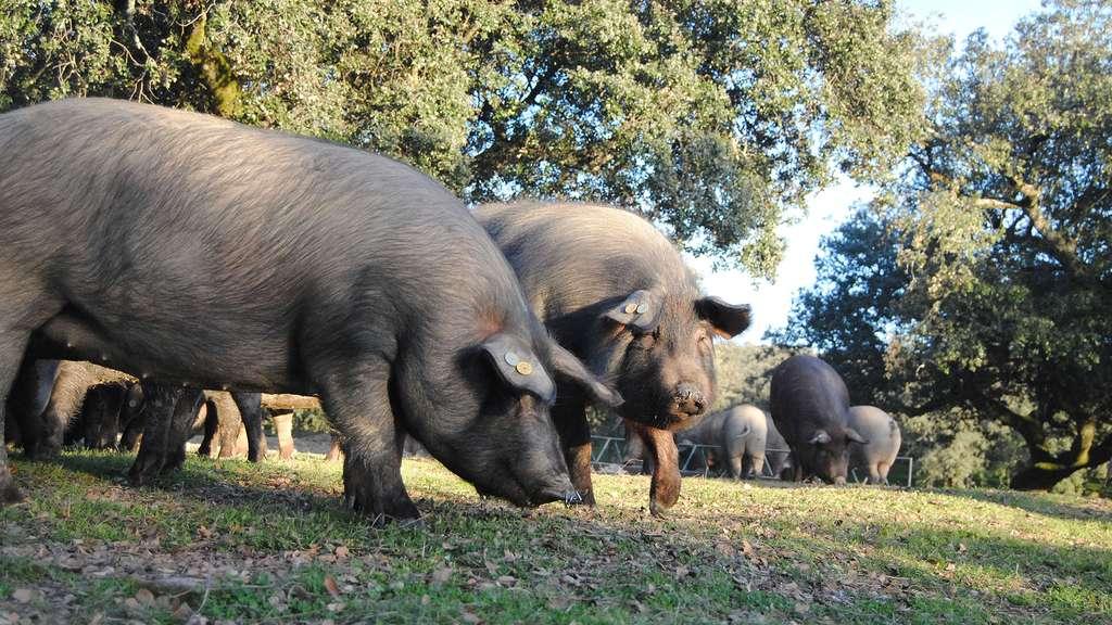 Le porc ibérique