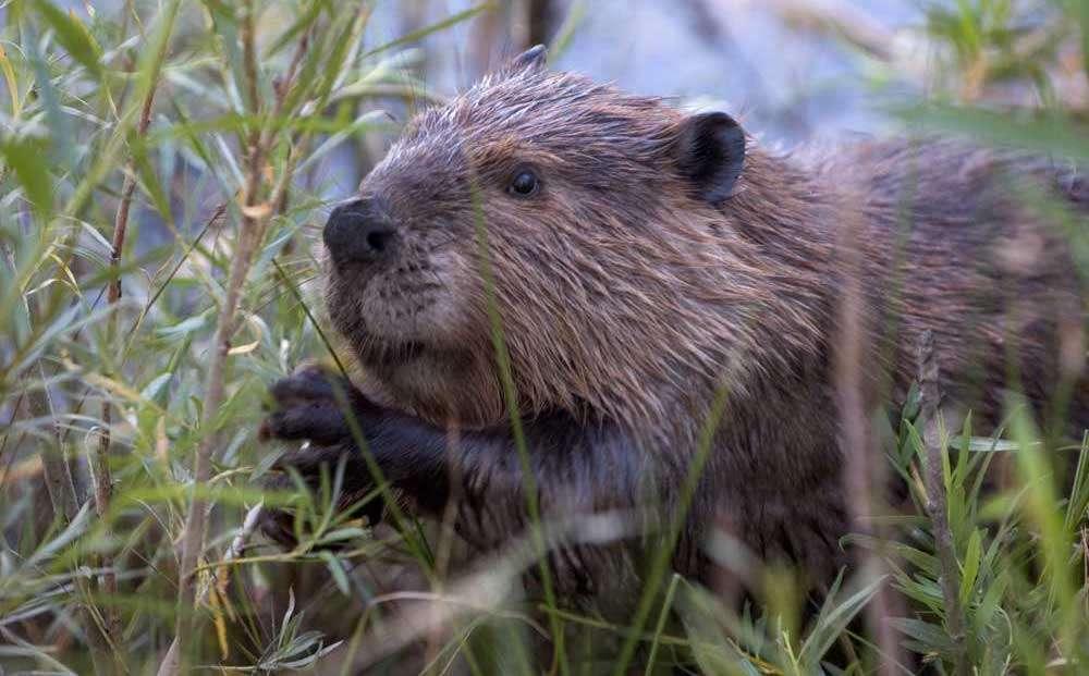 Le castor est l'une des espèces maîtresses des opérations de rewilding car il joue un rôle écologique de premier plan sur les bords des cours d'eau. Après plusieurs années de débats sur la question, il a par exemple été réintroduit avec succès en différents endroits de l'Écosse. © Cszmurlo, Wikipedia, CC by-2.5