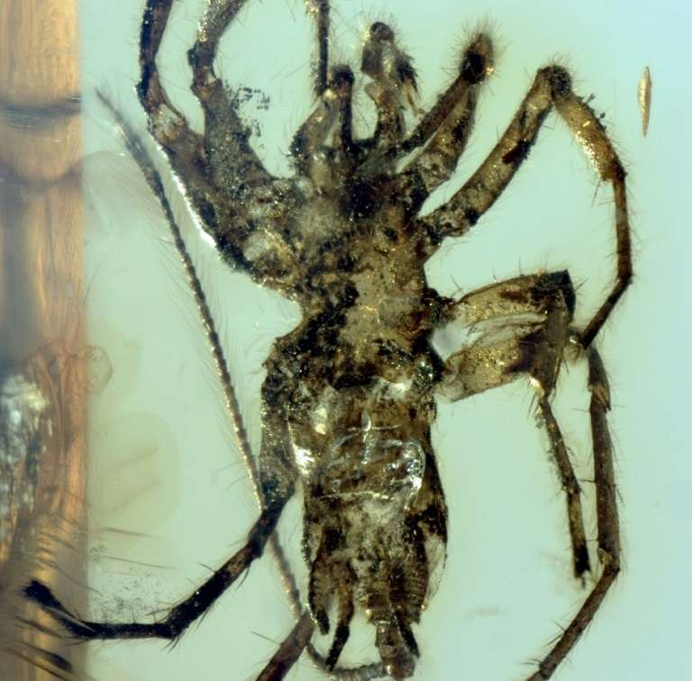 Une araignée Chimerachne yingi. Photo fournie par le site de la revue Nature le 5 février 2018. © Bo Wang, Nature Publishing Group, AFP