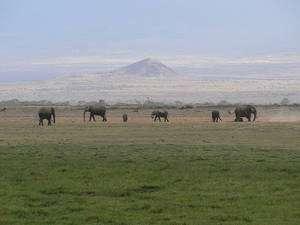 Un groupe d'éléphants au pied du Kilimandjaro, dans le parc national Amboseli. Vie en groupe et grands espaces semblent essentiels pour les éléphants... © lauren_pressley / Flickr - Licence Creative Common (by-nc-sa 2.0)
