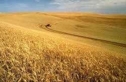 Un champ de blé (OGM ?). © DR