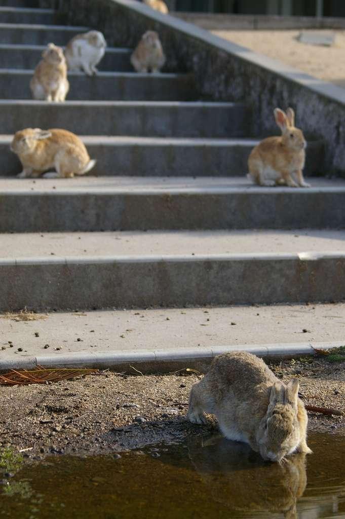 Les lapins ont envahi l'île Okunoshima. © Megumi, Fotolia