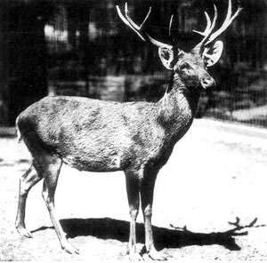 Un cerf de Schomburgk au zoo de Berlin en 1911. © Université Northwestern