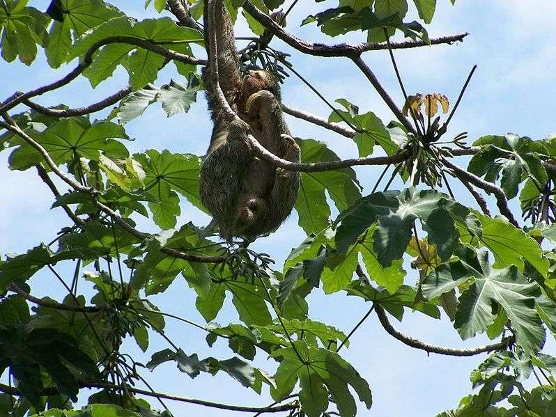 Paresseux dans la canopée. © Michelle Reback, Wikipédia, GNU 1.2
