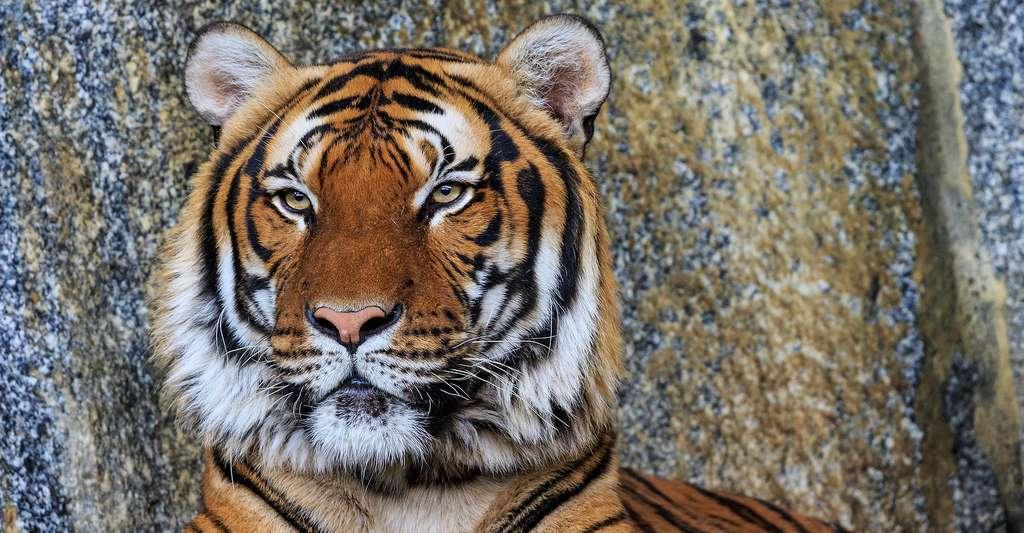 Tigre d'Indochine. © A.Savin LAL