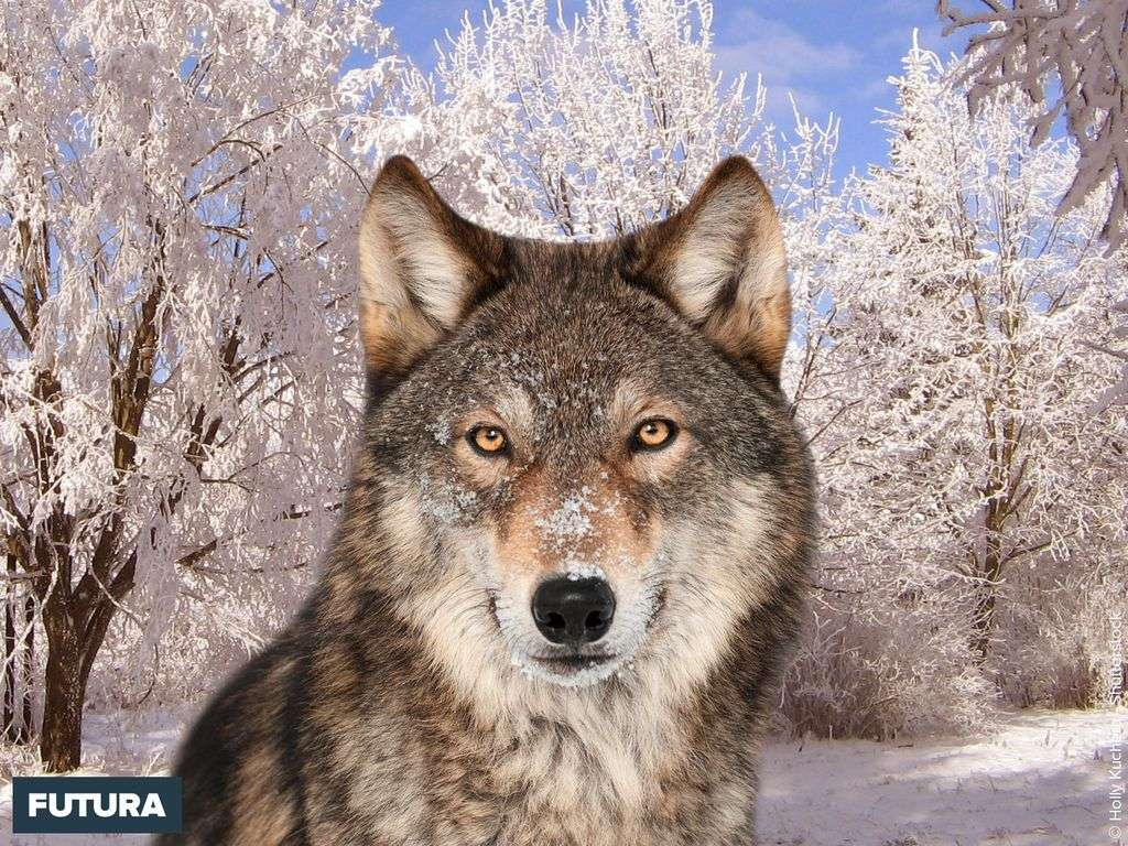 Loup gris Canis lupus