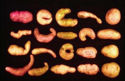 Des variétés primitives de pommes de terre. © P. Rousselle, photothèque de l'Inra