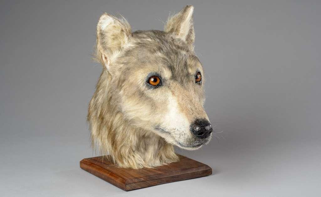 Voici le modèle de tête de chien créé par les chercheurs à partir d'un crâne retrouvé du côté du cairn de la colline de Cuween (Écosse). © Historic Environment Scotland