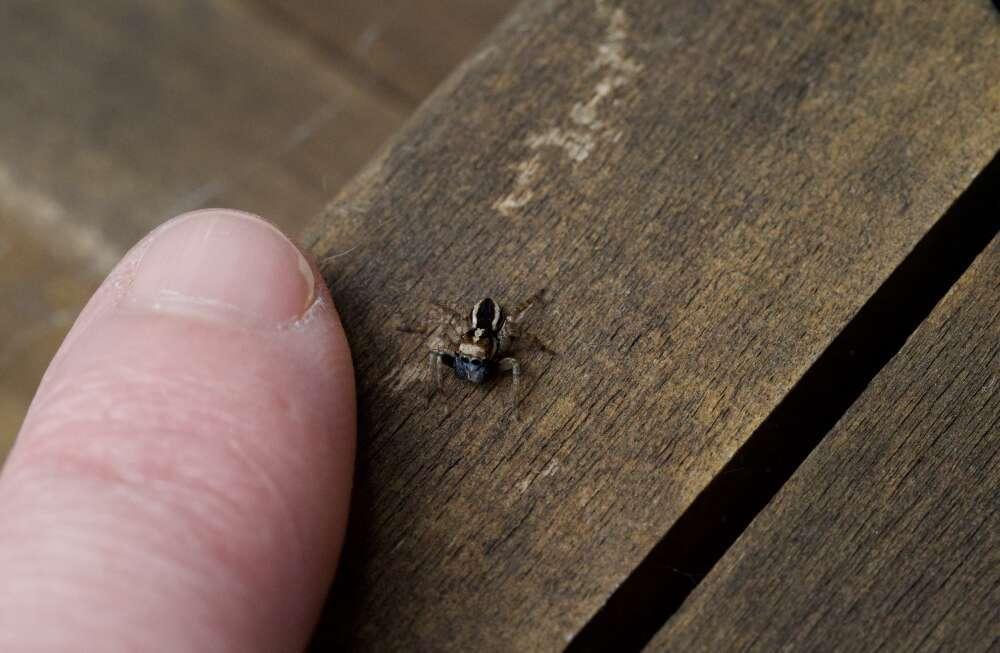 L'araignée sauteuse bleue découverte en Australie ne mesure que 4 millimètres. © Amanda De George