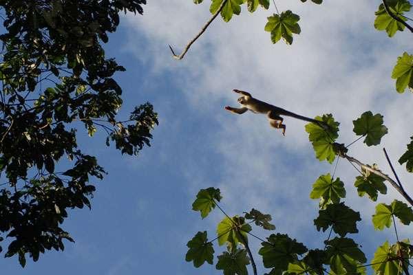 Singe-écureuil (Saimiri sciureus). © Sylvain Lefebvre et Marie-Anne Bertin, DR