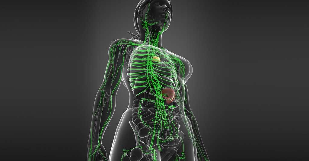 Comment fonctionne notre système immunitaire ? Ici, schéma du système lymphatique chez la femme. © S K Chavan, Shutterstock