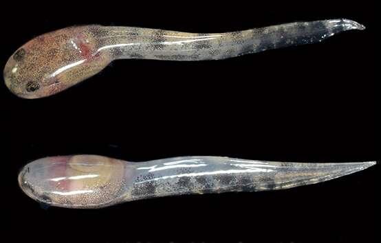 Les têtards de Limnonectes larvaepartus mesurent 1,5 cm de long à la naissance et se développent dans de petites mares en forêt humide. Leur géniteur pourrait les surveiller après leur mise au monde par la femelle. © Djoko T. Iskandar, Ben J. Evans, Jimmy A. McGuire, Wikimedia, CC by-sa 4.0