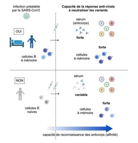 Les chercheurs ont étudié le devenir des cellules B à mémoire. © Inserm