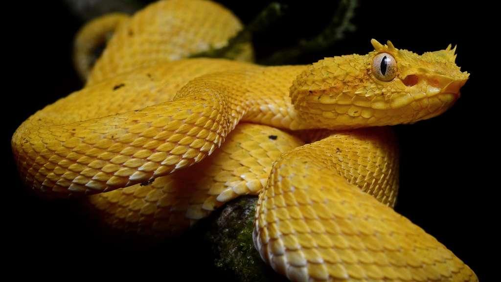 La vipère de Schlegel, un serpent venimeux du Costa Rica