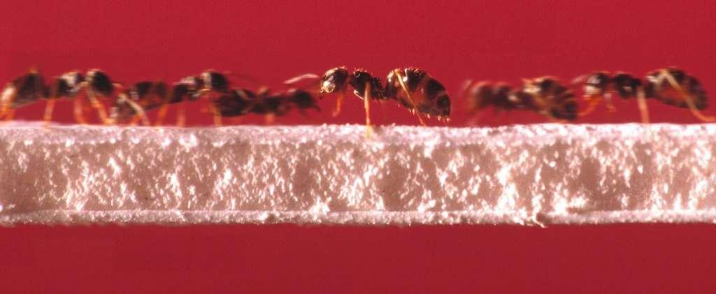 Contrairement aux humains, les fourmis adoptent une stratégie collective pour accroître l'efficacité de la circulation. © Emmanuel Perrin/CRCA/CNRS Photothèque