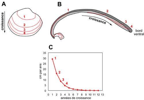 Vue schématique de la succession des stries de croissance annuelles que l'on peut observer chez certains bivalves A: à la surface; B: en coupe. La courbe en C montre la diminution du taux de croissance au cours du vieillissement de l'organisme. © C. E. Lazareth, IRD. Reproduction et utilisation interdites