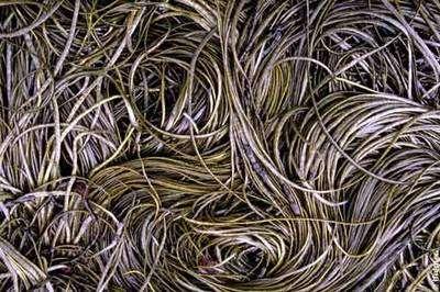 Himanthalia elongata, une algue comestible. © Ifremer, tous droits de reproduction interdits