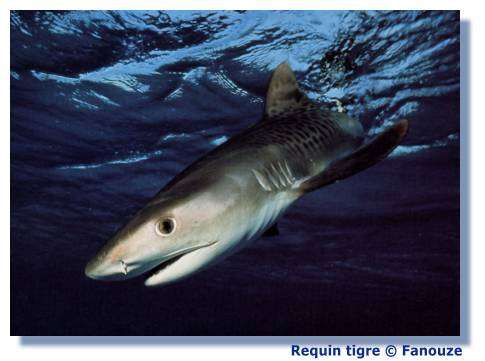 Comment le requin sent-il les choses ? © Fanouze