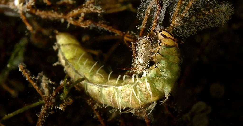 Les trichoptères (Trichoptera) constituent un ordre d'insectes qui regroupe plus de 12 000 espèces. Ils sont apparentés de près aux Lépidoptères (mites et papillons), mais adaptés pour la vie en eau douce dans leur stade larvaire. © Mounty64 - CC BY-SA 4.0