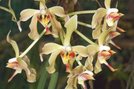 Phalaenopsis denevei. © Éric Hunt