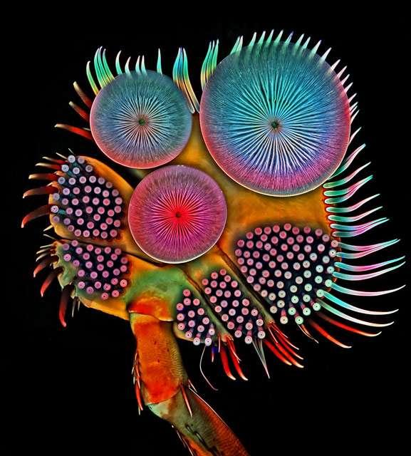 Les ventouses qui ornent les pattes antérieures du scarabée plongeur apparaissent nettement sur cette photo. © Igor Siwanowicz, Howard Hughes Medical Institute