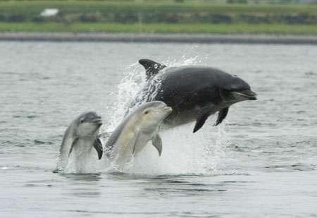 Tursiops bottlenose, dauphin avec ses petits. © wikipédia