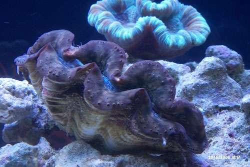 Nouvelle Calédonie - Tridacna maxima, Bivalve, prise dans l'aquarium personnel de Claire Garrigue, chercheuse au centre IRD de Nouméa. © IRD - Garrigue, Claire
