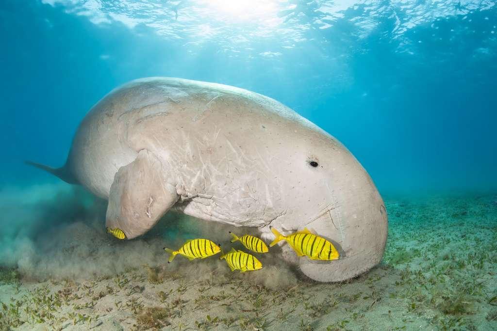 Les dugongs font partie des espèces au score Fuse le plus élevé. © B.neeser, Adobe Stock