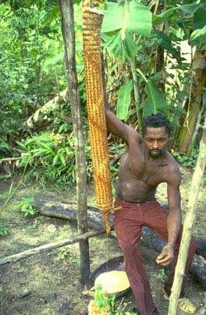 Expression du manioc dans une couleuvre (vannerie) pour en retirer les toxines. Village de Banafokondre, pays Saramaka, Suriname (1984-1986). © IRD, Michel Sauvain, tous droits de reproduction interdits