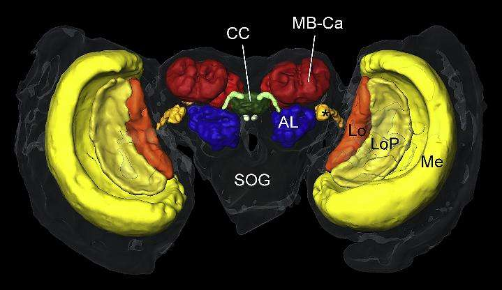 Le complexe central (CC, en vert), une région du cerveau du papillon monarque, renferme le compas solaire. © Neuron