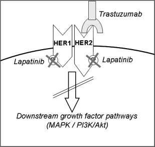 Schéma simplifié de l'action de l'Herceptin (trastuzumab) et du lapatinib. L'Herceptin agit sur la partie extra-cellulaire du récepteur et le lapatinib sur la partie intra-cellulaire. En conséquence, la voie de signalisation n'est plus activée. © Tiré de D. Collins et al. Cancer Treatment Review