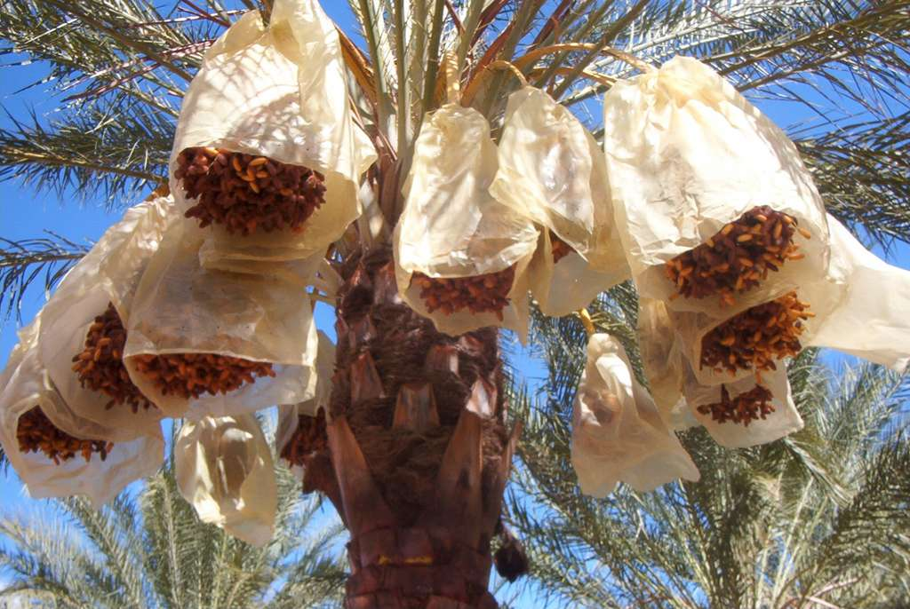 Les régimes de dattes bien emballés avant la cueillette, ici à Tolga, en Algérie. © Yelles, Wikimedia Commons, CC by-sa 3.0