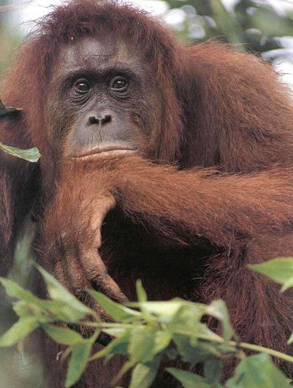 Orang-Outang Sumatra